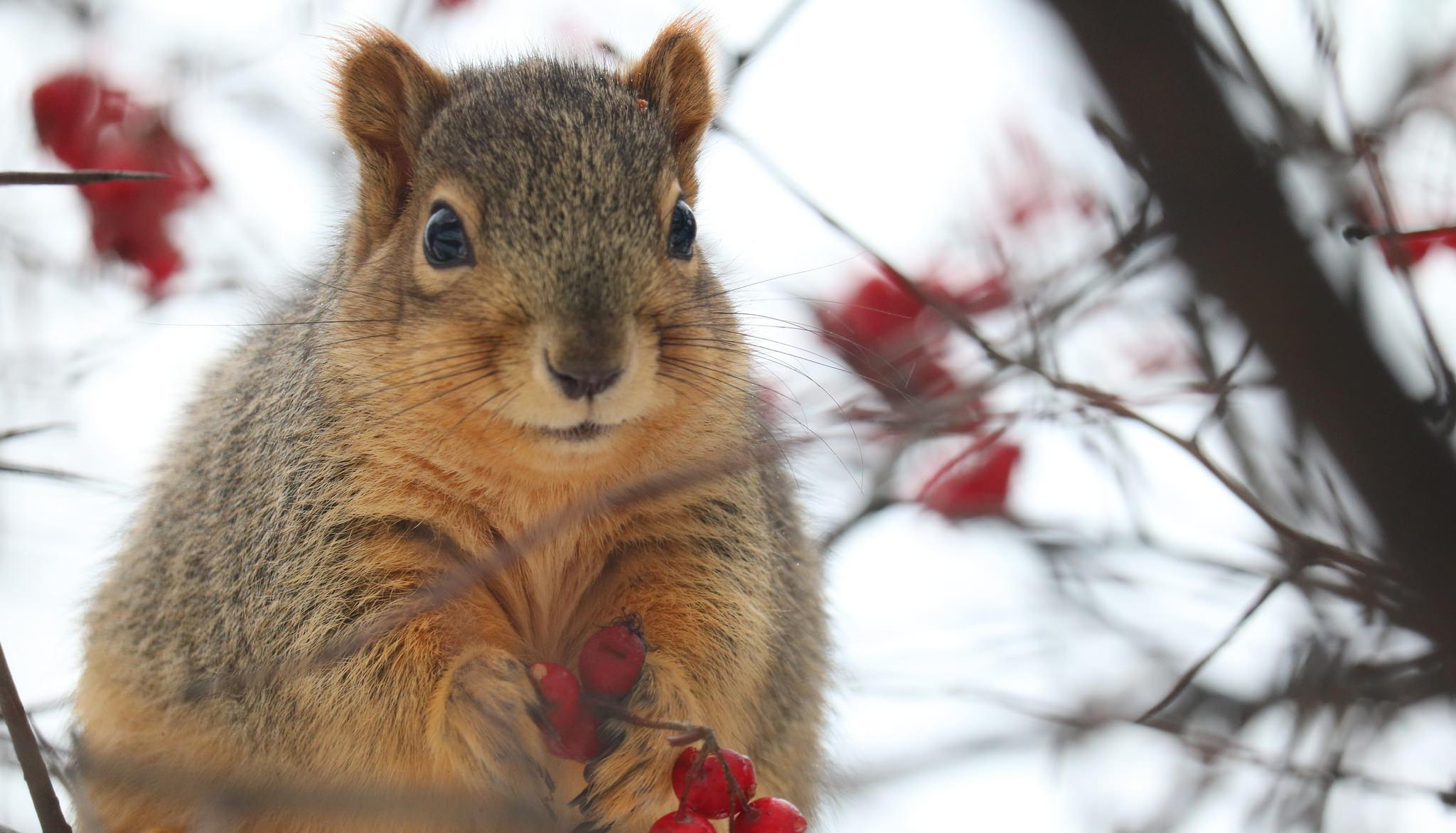 A squirrel sitting in a tree and holding berries in its paws