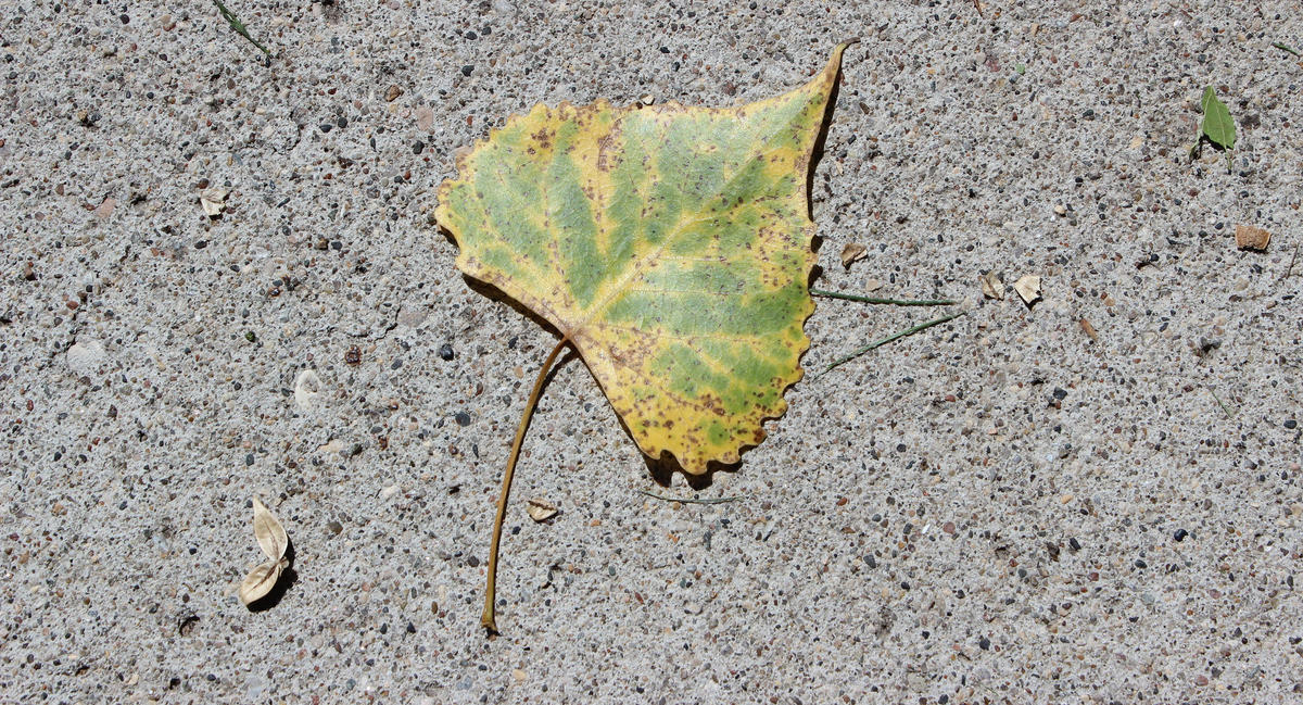 A green leaf on pavement, photographed from above
