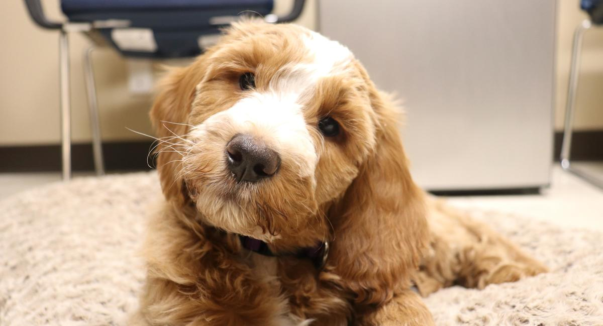 A red Goldendoodle puppy looking at the camera, his head cocked to the side
