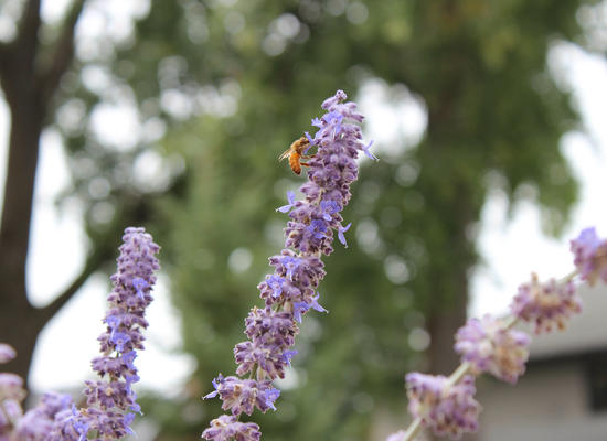A bee on a sprig of Russian Sage